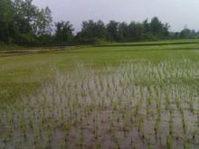 سه هکتار مزرعه برنج با سند  در شیپور-عکس کوچک