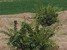 2/5 هکتار  باغ زرشک وپسته با 12ساعت آب  چاه موسویه در شیپور-عکس کوچک