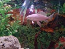 ماهی کوی سفید نژاد دار در شیپور-عکس کوچک