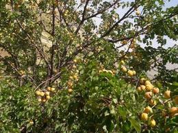 فروش باغ گردو و زمین مسکونی در چهار محال و بختیاری در شیپور-عکس کوچک