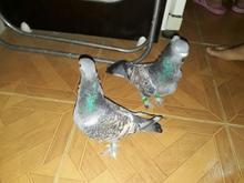 2 عدد کبوتر نوک ریز برزیلی نر و ماده. در شیپور-عکس کوچک