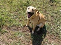 سگ سراب دورگه گیرنده در شیپور-عکس کوچک