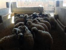 ذبح گوسفند در محل در شیپور-عکس کوچک