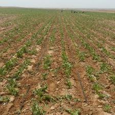 90 هکتار زمین کشاورزی در محدوده تربت جام در شیپور-عکس کوچک