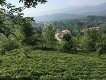 باغ چای در املش -گیلان  در شیپور-عکس کوچک