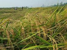 برنج درجه یک واقعا منصفانه مستقیم از کشاورز در شیپور-عکس کوچک