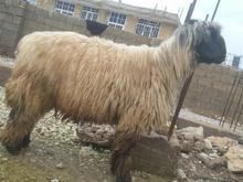 قوچ نرمیش نژاد بختیاری در شیپور-عکس کوچک