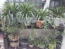 گل گندمی بزرگ سالم و سرحال  در شیپور-عکس کوچک
