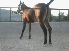 اسب دارم می فروشم  در شیپور-عکس کوچک