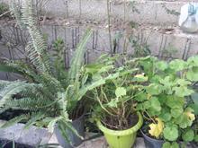 انواع گل کاکتوس در شیپور-عکس کوچک