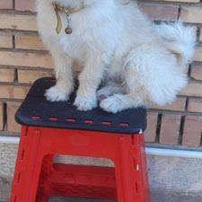 سگ اشپیتز تریر در شیپور-عکس کوچک