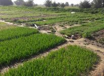 سه هکتار زمین کشاورزی در شیپور-عکس کوچک