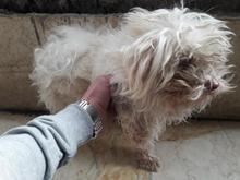 سگ شیتزو ترییر نر 2 ساله اماده جفت در شیپور-عکس کوچک