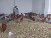 مرغ   خروس گلپایگان  تخم مرغ در شیپور-عکس کوچک