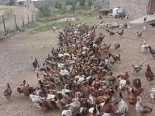 مرغ تخم گذار رسمی (محلی) 850 قطعه در شیپور-عکس کوچک