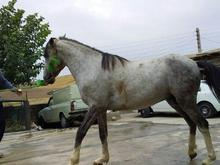 فروش اسب عالی در شیپور-عکس کوچک