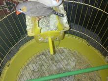 یک جفت فنج با جوجه در شیپور-عکس کوچک