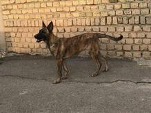 سگ مالینویز تایگر در شیپور-عکس کوچک