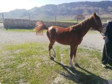 اسب نریان اصیل عرب در شیپور-عکس کوچک