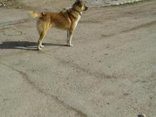 سگ گله و نگهبان در شیپور-عکس کوچک