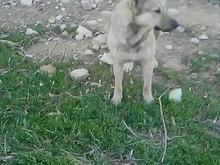 سگ خوب وگله ای در شیپور-عکس کوچک