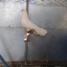 کبوتردم چتری در شیپور-عکس کوچک