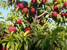 باغچه با میوه الوان  در شیپور-عکس کوچک