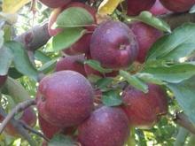 فروش باغ 2200 متری سیب در شیپور-عکس کوچک
