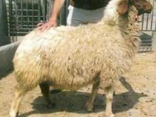 قصابی گوسفند درد منزل در شیپور-عکس کوچک