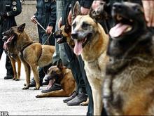 مرکز فروش سگهای نگهبان و گارد آموزش دیده در شیپور-عکس کوچک