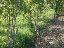 5400متر زمین دارای محصوله ازگیل وخرمالو وغیره   در شیپور-عکس کوچک