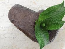 گلدان سنگی هدیه گیاه سنسوریا در شیپور-عکس کوچک