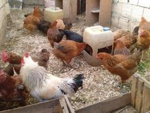فروش  تخم  مرغ  محلی   در شیپور-عکس کوچک