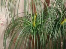درختچه.نخل با گلدان . در شیپور-عکس کوچک