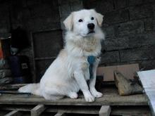 سگ گلدن رتریور - فروشی در شیپور-عکس کوچک