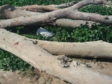 فروش کلتوس خشگ برا زغال در شیپور-عکس کوچک