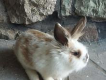 خرگوش بسیارزیبا در شیپور-عکس کوچک