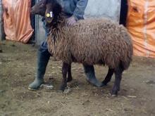 میش برولا افشار هترو در شیپور-عکس کوچک