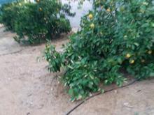 باغ شهری حسین اباد قبله جهرم1000 متر در شیپور-عکس کوچک