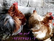 مرغ و خروس کوچین فریزل در شیپور-عکس کوچک
