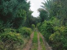 باغ نخلستان خرما ومرکبات 7000متر در شیپور-عکس کوچک