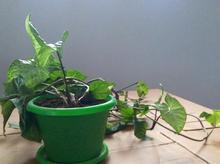 گلدان گیاه آویزونی در شیپور-عکس کوچک