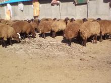 فروش میش جوان افشار در شیپور-عکس کوچک
