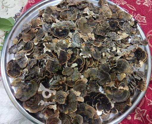 قارچ گانودرما قرمز قهوه ای و دم بوقلمونی در گروه خرید و فروش کسب و کار در چهارمحال و بختیاری در شیپور-عکس1