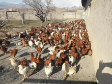مرغ محلی تخم گزار جوان در شیپور-عکس کوچک