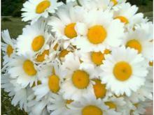 گل مصنوعی بابونه در شیپور-عکس کوچک