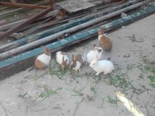 فروش خرگوش وبچه خرگوش در شیپور-عکس کوچک