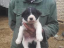 یک جفت توله سگ قهدریجانی در شیپور-عکس کوچک