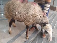 قصاب سیار درمحل کشتارگوسفند.گاو.گوساله در شیپور-عکس کوچک