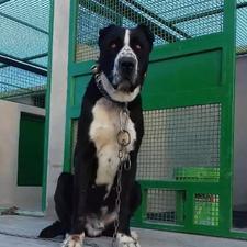 سگ ادم گیر در شیپور-عکس کوچک